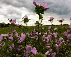 Flowers, keep your head up! (christiannass) Tags: explore iphone iphoneography deutschland photography inspired inspiring exploring germany mobile camera flickr traveling white grey green clouds pink purple photo world sky