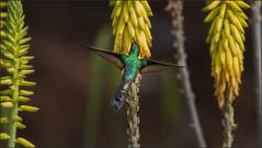 4373-  ZunZun (canuckguyinadarkroom) Tags: cuba hummingbird canon 6d aloevera canon400l nature