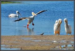 American White Pelican - Pelecanus erythrorhynchos (Bob Garrard) Tags: white bird island florida birding pelican american sanibel pelecanus girds erythrorhynchos