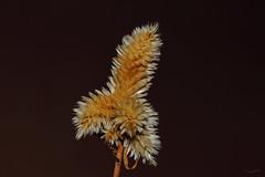 Plant (Franco Gavioli) Tags: plant macro sicily augusta sicilia francesco pianta 2016 gavioli canonef100mmf28macrousm fragavio canoneos600d yongnuoyn568exiiettl