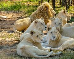 Proud Pride (MarcCooper_1950) Tags: lions pride lioness mane animal wildlife wild bigfive bigcats predators southafrica african