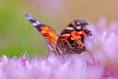 IMG_9245_PSP (Nd Onyeaso) Tags: fayettevillebotanicalgarden summer colors gardens insects macro paintedlady butterfly
