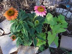 Coneflower morning (EllenJo) Tags: pentaxqs1 pentax july 2016 ellenjoroberts ellenjo coneflower echinachea flowers yard garden