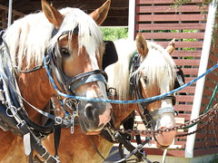"""Time to get to work."" (cheroberta123) Tags: horses cheroberta123 farmcenter michigan"