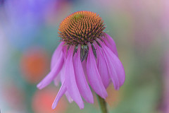 Echinacea (Linton Snapper) Tags: echinacea purple abstract pastels canon lintonsnapper