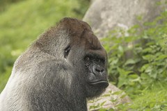 Bokito - Blijdorp (Jan de Neijs Photography) Tags: bokito aap gorilla zilverrug zilverruggorilla zoo dierentuin dier animal rotterdam blijdorp tamron tamron150600