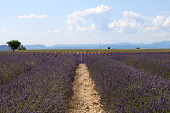 IMG_4748 (4) (echoey13) Tags: canon canon70d valensole france provencealpesctedazur provence lavender field farm farming agriculture tree clouds mountains