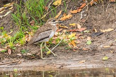 Water Thick-knee_2550-20151016 (C&P_Pics) Tags: kruger pgc shorebirds skukuzacamp southafrica2015 thickknees waterthickknee krugerpark mpumalanga southafrica za