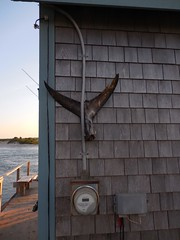 Fish tail on Chappaquiddick (ataxiagallery) Tags: chappaquiddick fishtail fishing