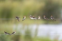 small bird series: fairy martins #3 (Fat Burns  (on/off)) Tags: fairymartin petrochelidonariel matrin smallbird bird australianbird fauna australianfauna nature oxleycreekcommon nikond750 sigma150600mmf563dgoshsmsports sigmateleconvtc1401nik