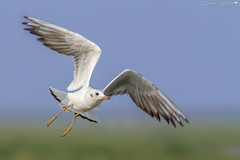 Brown Headed Gull (Tanmay's Gallery) Tags: brown headed gull bird wildlife nature flight ngc