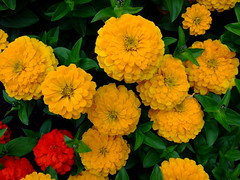 Zinnia (yewchan) Tags: flower flowers garden gardening blooms blossoms nature beauty beautiful colours colors flora vibrant lovely closeup zinnia zinnias youthandoldage