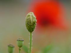stop at the red light (jump for joy2010) Tags: uk england somerset highbridge burnhamonsea apexpark wildflowers july 2016 park sedgemoordistrictcouncil poppies red daisies white papaverrhoeas