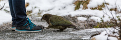 Greetings Human, I come for the pieces. (grantg59@xtra.co.nz) Tags: kea measure snow milford road alpine parrot shoe feet claws talons bird feathers