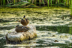 You're in my Spot! (flashfix) Tags: july282016 2016 2016inphotos nikond7000 nikon ottawa ontario canada 55mm300mm ducks mallards water rock sunning nature animal mothernature attitude pair