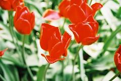 000014 (seustace2003) Tags: keukenhof nederland niederlande holland pays bas paesi bassi an sitr tulip tulp tulipan tiilip tulipa