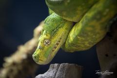 Tree Python (ToddLahman) Tags: treepython python tree yellowgreen snake lllreptileescondido canon7dmkii canon tamron18270 closeup lowlight