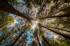 Los arboles hacia el cielo (Daniel Fotografia :)) Tags: arboles bosque exit per sky infinito airelibre cielo sierra azul naturaleza nature campo tree