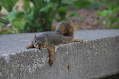 Squirrels on a Hot Day in Ann Arbor at the University of Michigan (August 5, 2016) (cseeman) Tags: squirrels annarbor michigan animal campus universityofmichigan umsquirrels08052016 summer eating peanut augustumsquirrel pancakeanimals pancakesquirrels hotsquirrels exploredcseeman gobluesquirrels umsquirrel