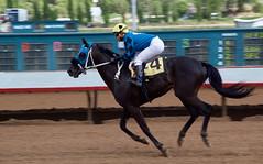 The Winner (DanJBailey) Tags: racetrack horseracing ruidosodowns newmexico nm ruidoso downs horse horses thoroughbred race racing canon 60d