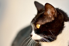 xGata Gitana (4) (adopcionesfelinasvalencia) Tags: gata gitana