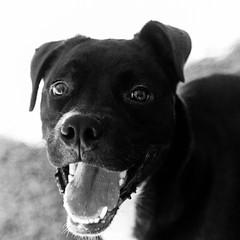 Pacman31Jul1600041-Edit.jpg (fredstrobel) Tags: dogs pawsatanta phototype atlanta blackandwhite usa animals ga pets places pawsdogs decatur georgia unitedstates us