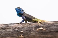 (gallinita roja) Tags: lakekivu rwanda africa hotelparadismalahide blue headed agama lizard lake kivu