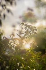 A silky Scenery (*Capture the Moment*) Tags: 2016 backlight bokeh farbdominanz gegenlicht gras grass sonne sonnenuntergang sonya7ii sun sunset trioplan28100neo wetter golden green grn