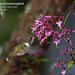 Volcano Hummingbird, Selasphorus flammula