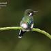 Green Thorntail, Discosura conversii