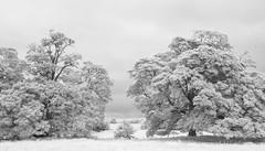 Trees in Infrared (tik_tok) Tags: thortonabbey abbey ruins abandoned uk england trees nature bw blackandwhite infrared ir