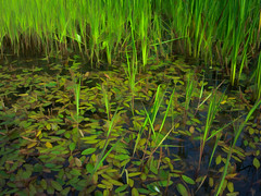 2016-08-17_FrogBogDaily230-366 (vickievilla) Tags: pond water nature naturesart leaves outdoors grasses photopainting topazimpression