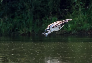 Osprey fishing.