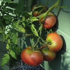 ripe for picking (mimbrava) Tags: cherokeepurple heirloomtomatoes tomato garden arr allrightsreserved mimeisenberg mimbrava mimbravastudio