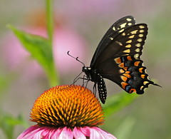 Black Beauty (Slow Turning) Tags: papiliopolyxenes blackswallowtail butterfly insect flower blossom purpleconeflower echinacea garden feeding foraging forage nectaring summer southernontario macro bokeh