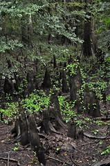 Cypress Slough, Big Thicket - Kirby Nature Trail (faungg's photos) Tags: travel trees usa nature us texas hiking tx south southern trail cypress slough   nationalpreserve    bigthicket