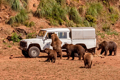 IMG_2915 Osos (Juancarlosxl) Tags: bear parque cantabria osos cabrceno parquedecabrceno
