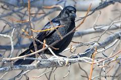 DSC_0321 (rachidH) Tags: snow black nature birds nj corneille neige sparta crow oiseaux corvusbrachyrhynchos americancrow corbeau corvus corvidae corneilledamrique rachidh