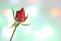 97/100: Forever young (judi may) Tags: flower macro rose stem bokeh pastel rosebud bud pastelcolours 100xthe2014edition 100x2014 image97100