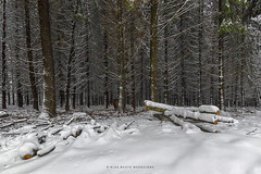 Sepultada bajo la nieve .... (PITUSA 2) Tags: naturaleza nieve paisaje bosque invierno frio navarra leña urbasa comunidadforaldenavarra sepultada pitusa2 elsabustomagdalena