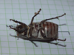 Scarabaeidae>Melolonthinae Lepidiota grisea? Grisea canegrub DSCF6086 (Bill & Mark Bell) Tags: exmouth westernaustralia australia geo:town=exmouth geo:state=westernaustralia geo:country=australia geo:lon=11425453egeolat2217752sgeoalt8m 11425453e2217752salt8m taxonomy:kingdom=animalia animalia taxonomy:phylum=arthropoda arthropoda taxonomy:class=insecta insecta taxonomy:order=coleoptera coleoptera taxonomy:family=scarabaeidae scarabaeidae taxonomy:subfamily=melolonthinae melolonthinae taxonomy:genus=lepidiota lepidiota grisea taxonomybinomialnamelepidiotagrisea lepidiotagrisea taxonomycommonnamegriseacanegrub griseacanegrub insect animal fauna beetle