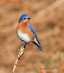 Eastern Bluebird (Sialia sialis), male (acadia_breeze4130) Tags: morning blue red white male bird eye nature canon wings bright pennsylvania wildlife birding feathers 7d bluebird eastern birdwatching harrisburg plumage wildwoodpark karencarlson dailynaturetnc13