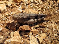 Oedipoda caerulescens (beneventi2013) Tags: orthoptera acrididae canonpowershota610 caelifera paolobeneventi
