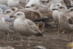 8L7P (The Gull Explorer) Tags: winter nature birds gulls lithuania larusargentatus landfill migrant herringgull breeder lik laridae wintering birdringing borisbelchev wwwalcedowildlifecom yellowplasticband 8l7p dumpiailandfill y8l7p