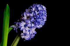 Hyazinthe (ingrid eulenfan) Tags: blau blume frhling frhlingsblumen hyazinthe