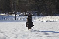 Sprare... (Patrick Strandberg) Tags: winter snow canon vinter sweden sn stergtland icelandichorse islandshst vikingstad canon60d canoneos60d eilifur nestalund