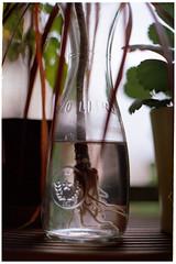 wurzelwerden (masine) Tags: plant film glass analog 35mm minolta kodak pflanze roots 135 glas wurzel kleinbild xg2 ektar100 mdrokkor114f50mm