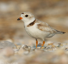 Piping plover portrait (v4vodka) Tags: nature animal wildlife chick birdwatching plover pipingplover shorebird charadriusmelodus pipingploverchick birdbirding sieweczkablada