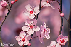 Signs of Spring (Nualchemist) Tags: pink light plant flower detail tree nature floral closeup petals spring bright bokeh outdoor bloom delicate delightful macrophotography palepink plumblossoms simplyflowers umeblossoms
