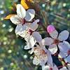 cherry blossom (SqueakyMarmot) Tags: macro vancouver bokeh lensflare burnaby flowering cherryblossoms suburb sunrays